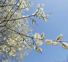 Pussy willow blossom series - spring 2012 by Penny V-P
