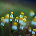 Daisies  by Asher Haynes