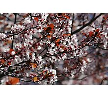 Flowering Tree Photographic Print
