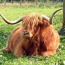 Heilan Coo by Tom Gomez