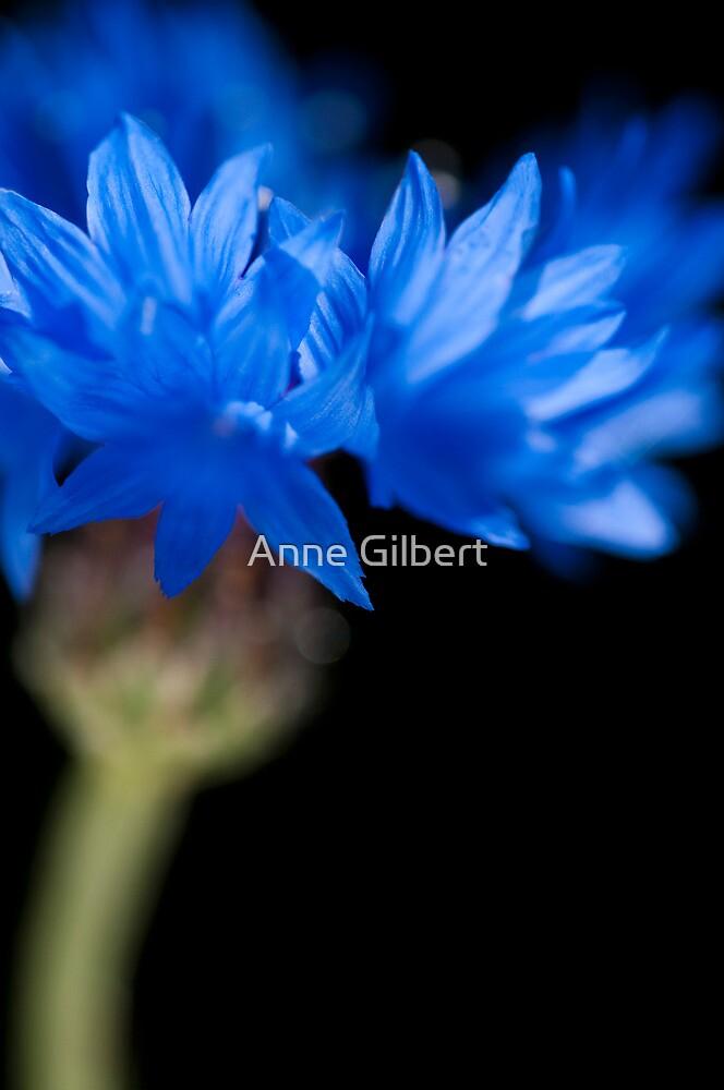 Sunkissed Cornflower by Anne Gilbert