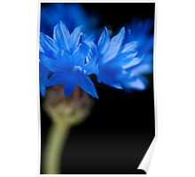 Sunkissed Cornflower Poster