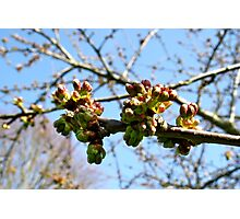 Budding Blossoms Photographic Print