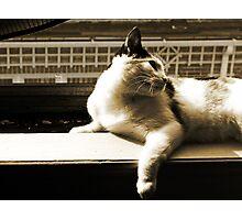 Sepia Kitty Photographic Print