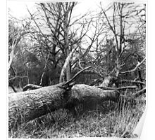 Fallen Tree, Phoenix Park, Dublin Poster