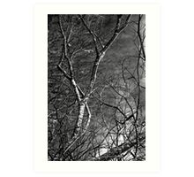 Silver Birch Tree, County Mayo Art Print