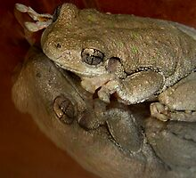 Peron's Tree Frog  ( Litoria Peroni ) by Loreto Bautista Jr.