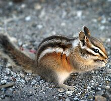 Chipmunk by Henrik Lehnerer