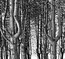 Tall Trees At The Furry Glen, Phoenix Park by Dave  Kennedy
