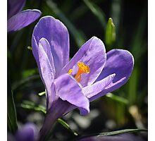 Purple Crocus Photographic Print