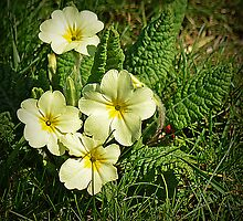 Spring Primrose by Colin Metcalf