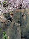 Climbing Into Cherry Blossoms by Nevermind the Camera Photography