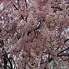 Cherry Blossoms by Nevermind the Camera Photography