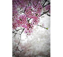 Cherry Dreams Photographic Print