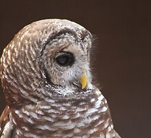 *Barred Owl Profile* by DeeZ (D L Honeycutt)