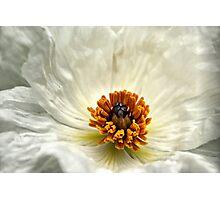 Silken Poppy Photographic Print