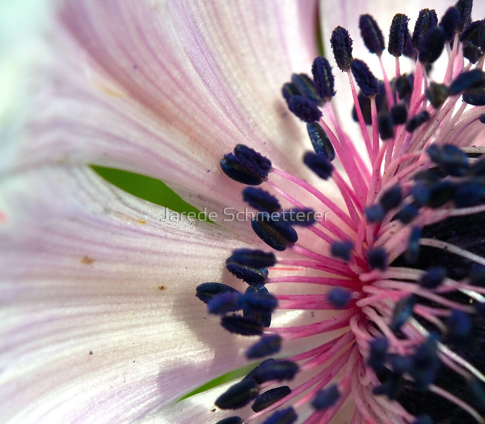 Pink and Purple Stamen by Jarede Schmetterer