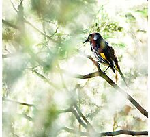New Holland Honeyeater deep in the shade of the tree Photographic Print