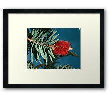 Red bottle brush (Callistemon) nr Albany Western Australia  19820831 0075 Framed Print