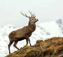 Red Deer Stag in Winter by derekbeattie
