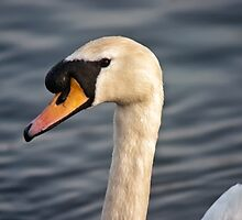 Swan in portrait by Vicki Field