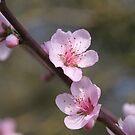 Peach Blossoms  by Pamela Jayne Smith