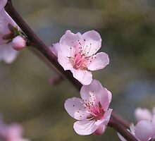 Peach Blossoms  by Pamela Jayne Smith
