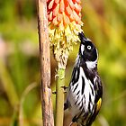 &quot;Honey Eater&quot; by jonxiv