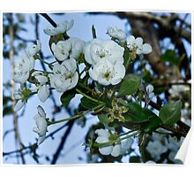 Pear Blossoms 2 Poster
