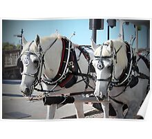 Percheron Draft Horses Poster