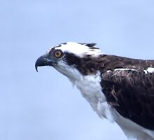 Osprey by Roger Otto