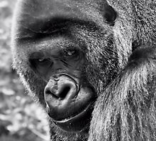 *Silverback* by DeeZ (D L Honeycutt)