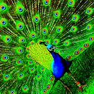 Peacock by active8