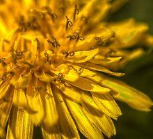 Dandelion curls by sternbergimages