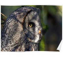 Great grey Owl ( Strix nebulosa) Poster