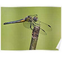 Dragonfly blue & yellow Poster