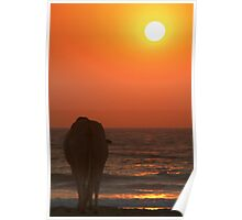 Cow Watching the Sunset Arambol Poster