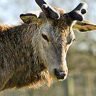 Deer by Lisa Williams