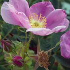 Wild Rose by Rod J Wood