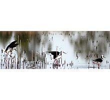 black - winged stilts  Photographic Print