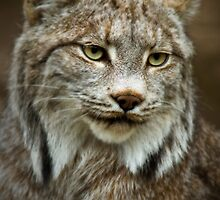 Lynx Canadensis by Scott Denny