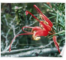 Red Grevillea tripartita flower near Ongerup Western Australia 19820901 0014  Poster