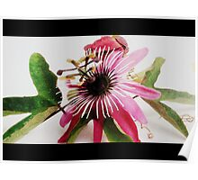 Passiflora ~ Passion Flower Poster