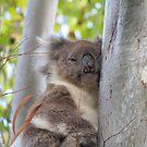 Sleepy Koala by Jackson  McCarthy