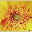 Yellow Gerbera by ©The Creative  Minds
