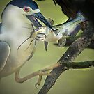 Black Capped Night Heron Catches Catfish by imagetj