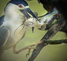 Black Capped Night Heron Catches Catfish by imagetj