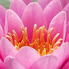 Water Lily - Royal Botanic Gardens Melbourne by SophiaDeLuna
