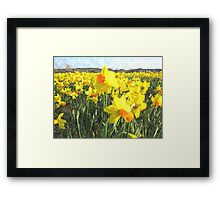 Field with yellow Daffodils in Holland Framed Print