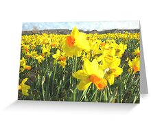 Field with yellow Daffodils in Holland Greeting Card